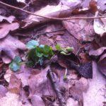 Erstes Grün zwischen altem braunen Herbstlaub